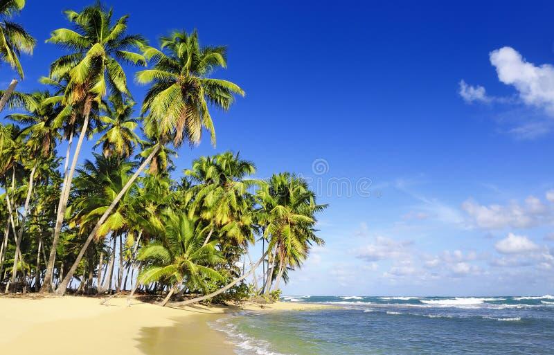 koks palmowi obrazy stock