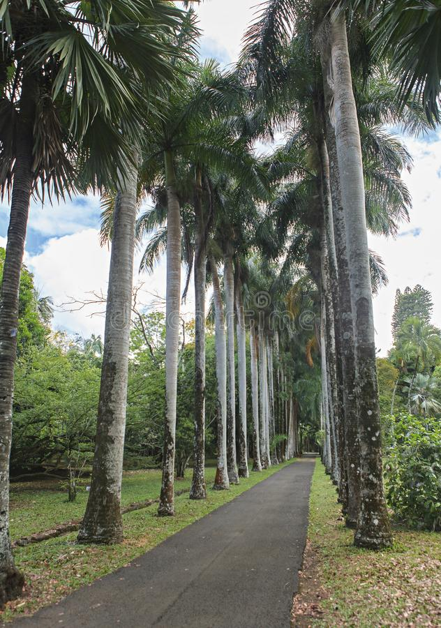 Koksu drzewa rząd wzdłuż drogi zdjęcie royalty free