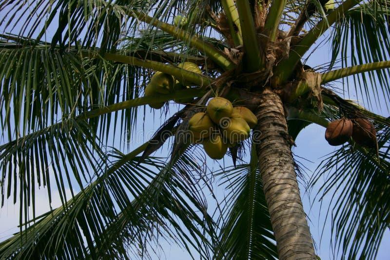 koksu drzewko palmowe fotografia royalty free