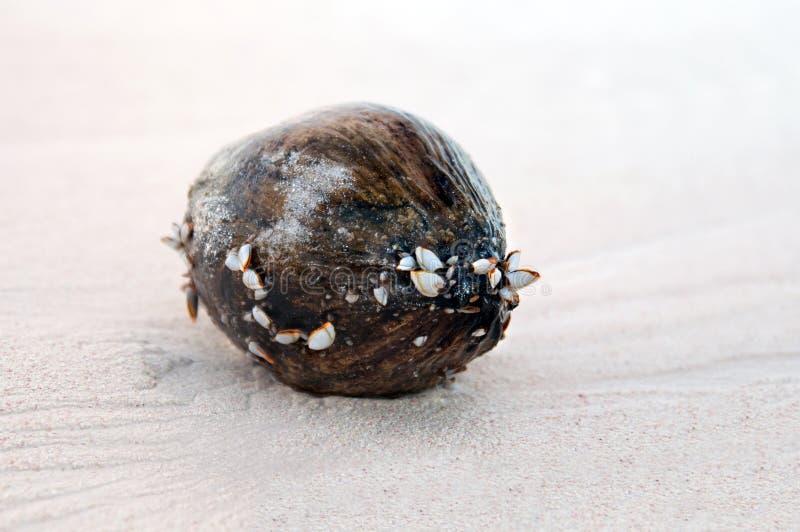 Download Koksu piasek zdjęcie stock. Obraz złożonej z owoc, brąz - 24355490