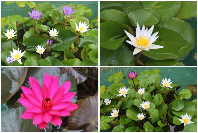 Kolaż kwitnąć Lotosowych kwiaty zdjęcia stock