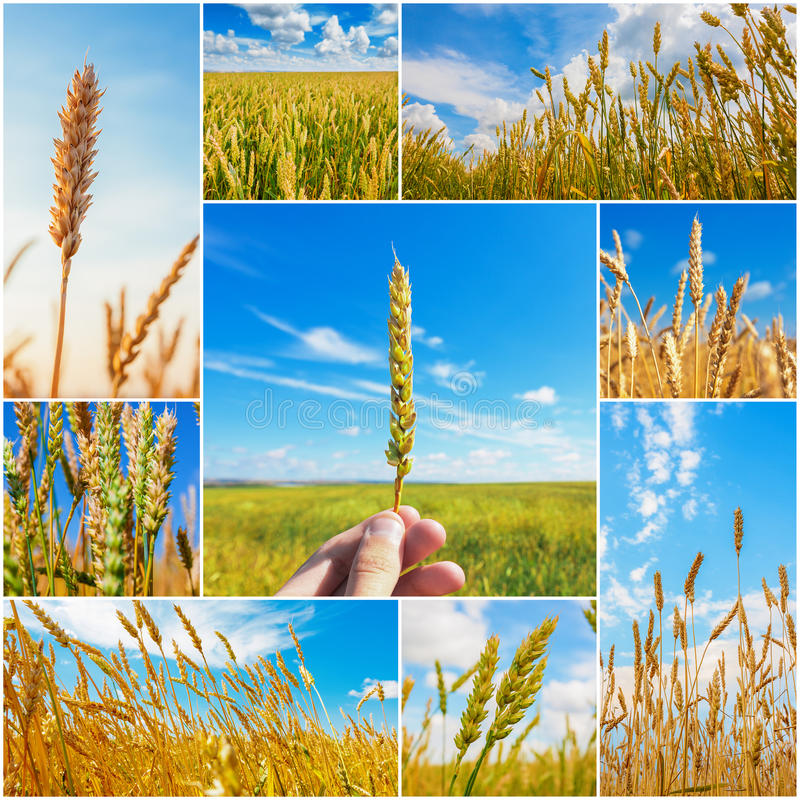 Kolaż obrazki z pszenicznymi ucho zdjęcie stock