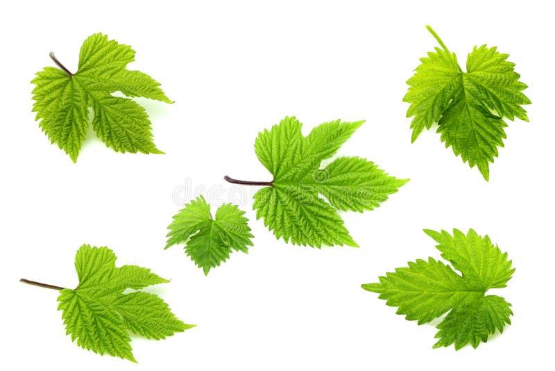 Kolaż od świeżego liścia podskakuje zdjęcia stock