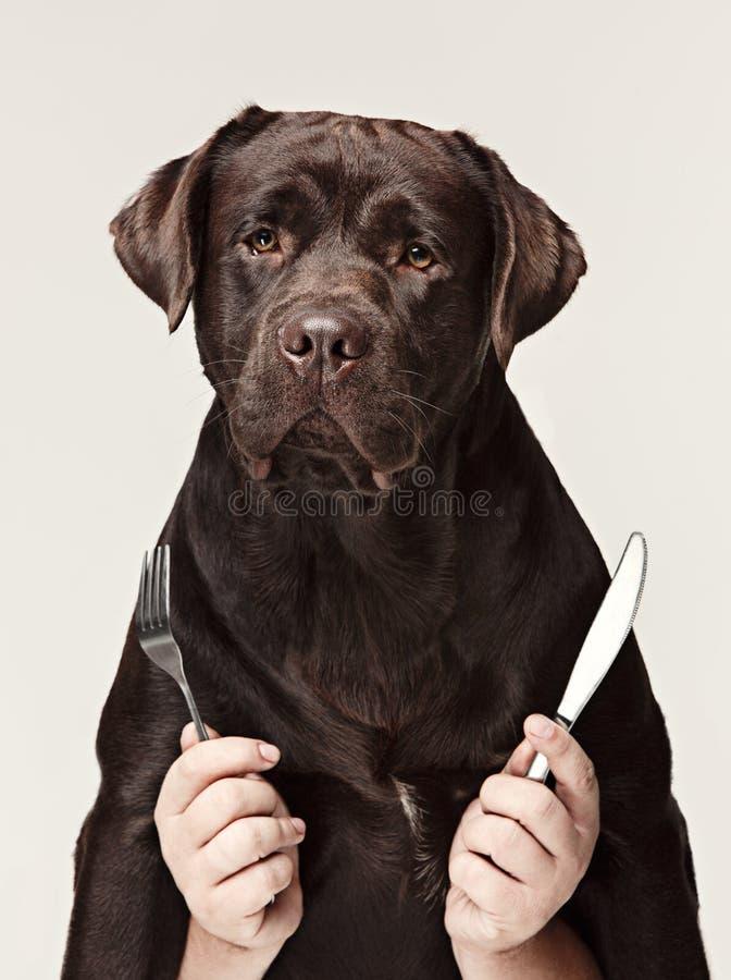 Kolaż z czekoladowymi labradora i samiec rękami psi mienia rozwidlenie, łyżka dla jeść odizolowywam na białym tle i obrazy stock