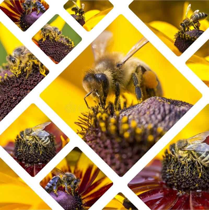 Kolaż Zachodni Miodowi pszczoła wizerunki - podróżuje tło & x28; mój fot obraz stock