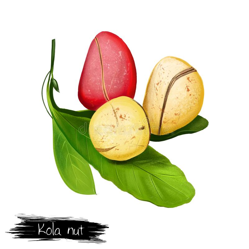 Kola Nut Fruits with Leaves Illustration Isolated. On white. Drawing of kola nut, natural stimulant, coke ingredient, botanic. Kola tree. Caffeine-containing vector illustration