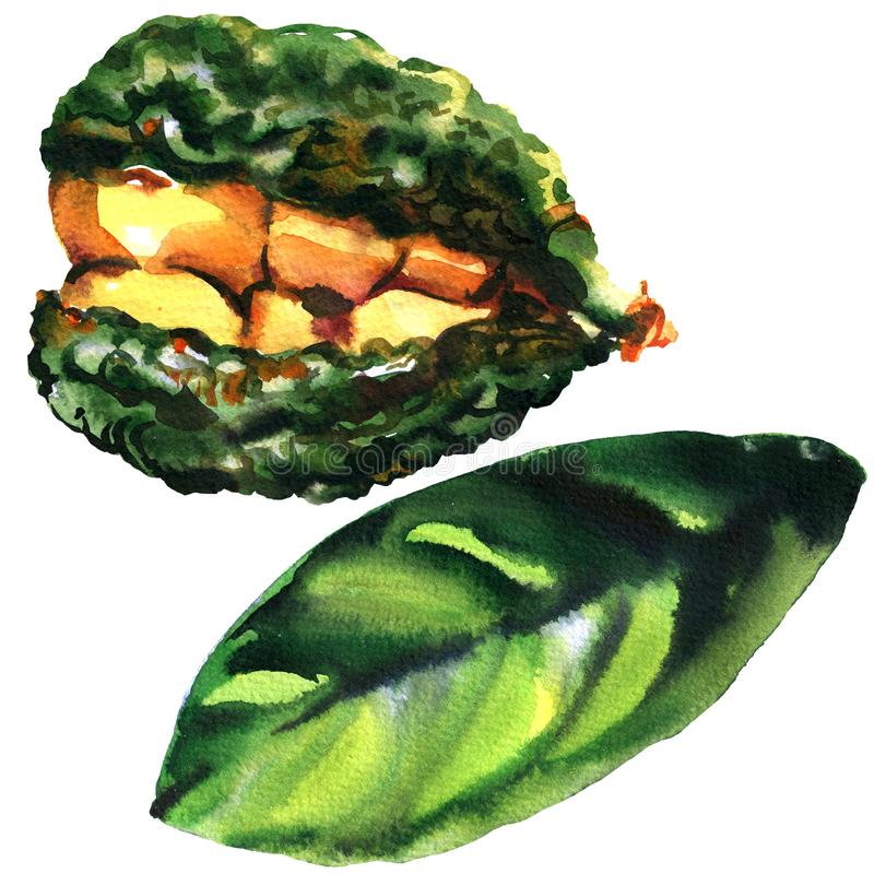 Kolabaumnüsse, Kolabaumnuß, afrikanische Frucht, bittere Kolabaumanlage, zogen Kernen mit Nüssen im Oberteil und im grünen Blatt  vektor abbildung