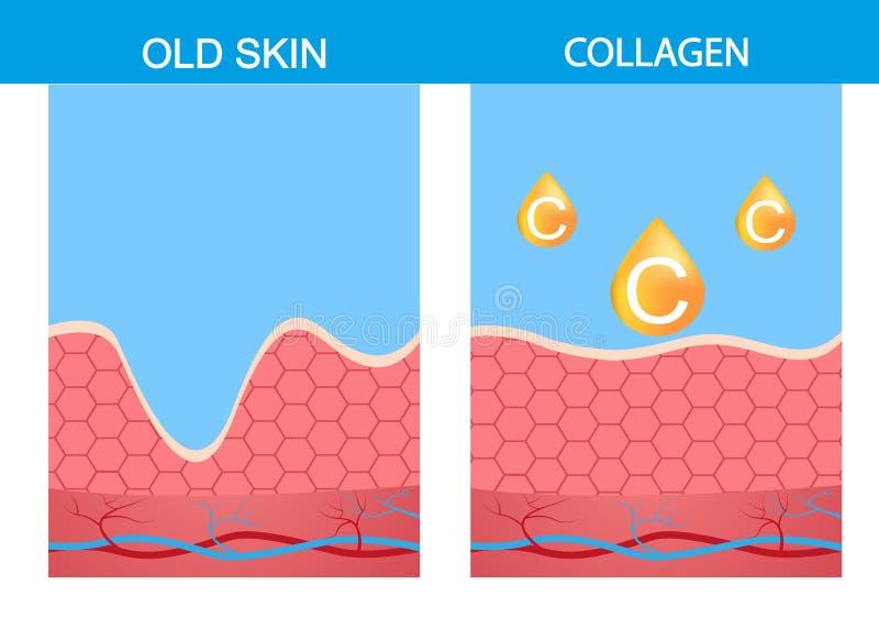 Kolagen, skóry strabismus wektorowa anatomia medyczna ilustracja wektor