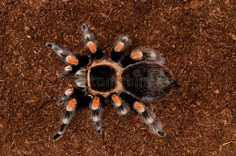 kolanowa maxican czerwona tarantula obrazy stock