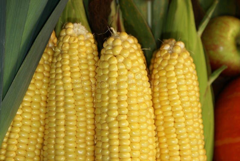 kolby kukurydzy fotografujący tła white obrazy royalty free