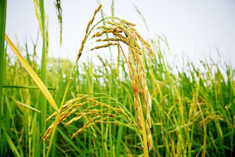 Kolców ryż obraz stock