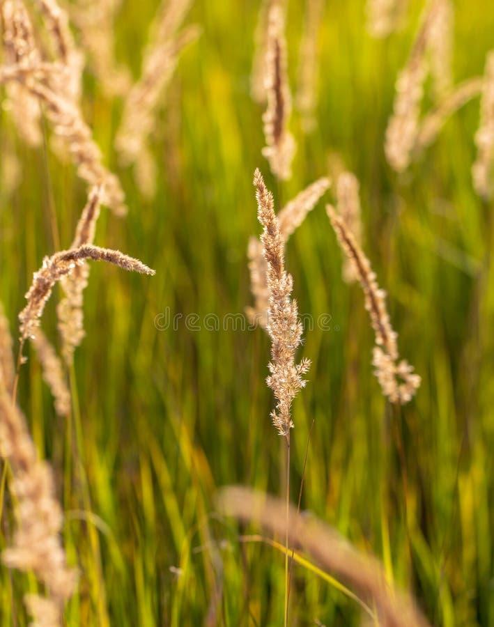 Kolce na trawie w naturze jako t?o zdjęcia royalty free