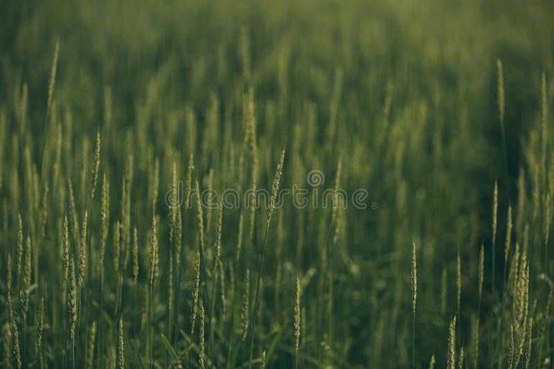 Kolce w zielenieją pole zdjęcie stock
