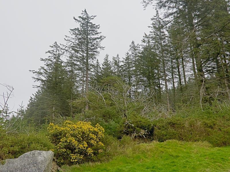 Kolcolista shurb i sosna las w mgle zdjęcia royalty free