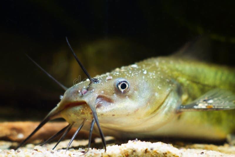 Koleń kanałowy, niebezpieczny inwazyjny drapieżnik słodkowodny, Ictalurus punctatus, demonstrujący swoją głowę obrazy stock