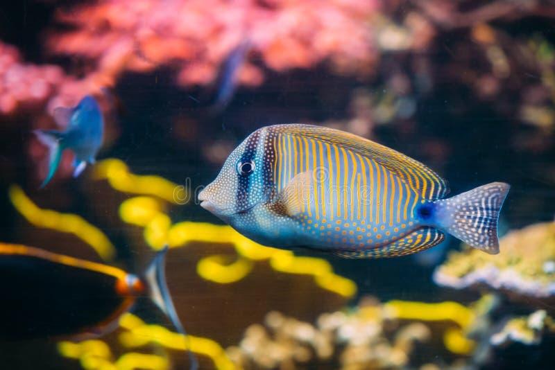 Kole特性或被察觉的矛状棘鱼或者Goldring矛状棘鱼或者叫喊 库存图片