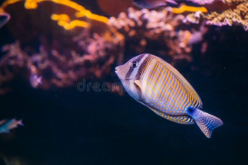 Kole特性或被察觉的矛状棘鱼或者Goldring矛状棘鱼或者叫喊 免版税库存图片