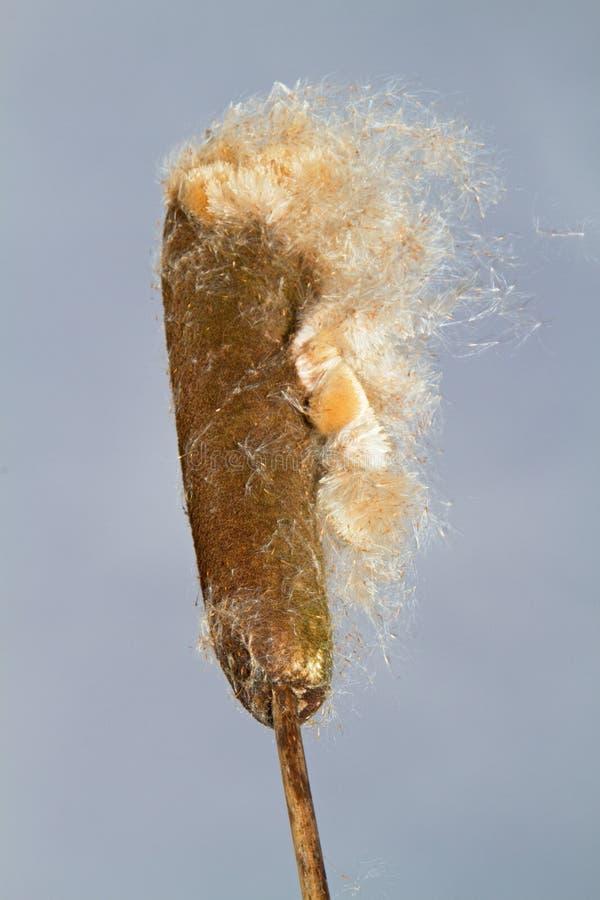 Kolec ożypałka lub sitowie obraz stock