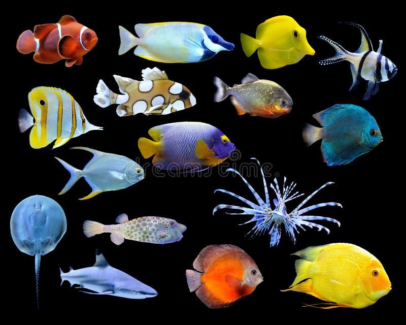kolekci tropikalny rybi wielki obrazy stock