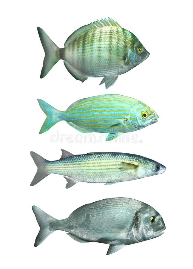 Kolekcja śródziemnomorska ryba. fotografia royalty free