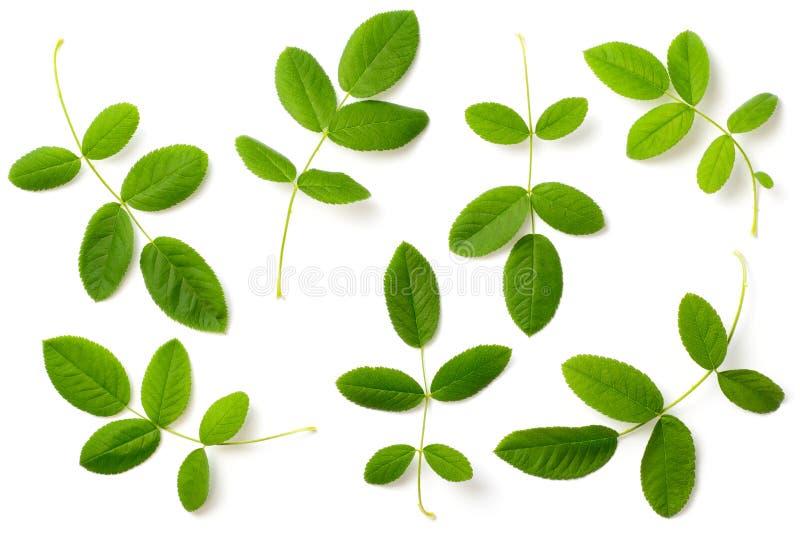 Kolekcja świeży wzrastał liście odizolowywających na białym, odgórnym widoku, fotografia stock