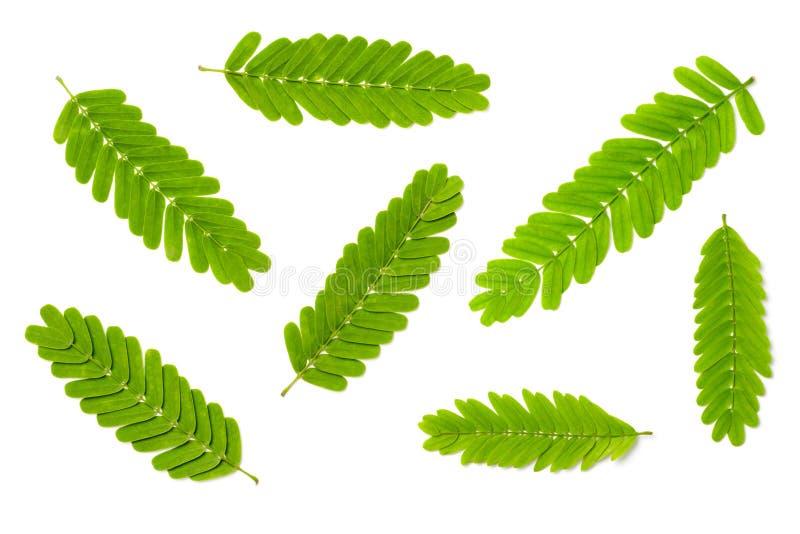 Kolekcja świezi tamarynda liście odizolowywający na białym tle, odgórny widok obraz stock