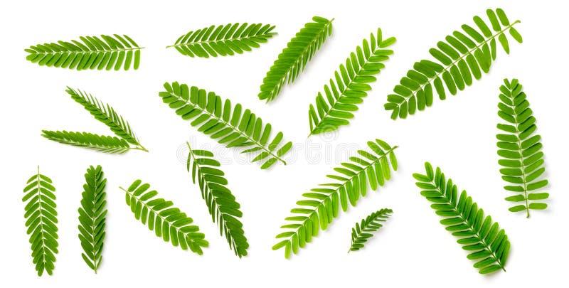 Kolekcja świezi tamarynda liście odizolowywający na białym tle, odgórny widok obraz royalty free