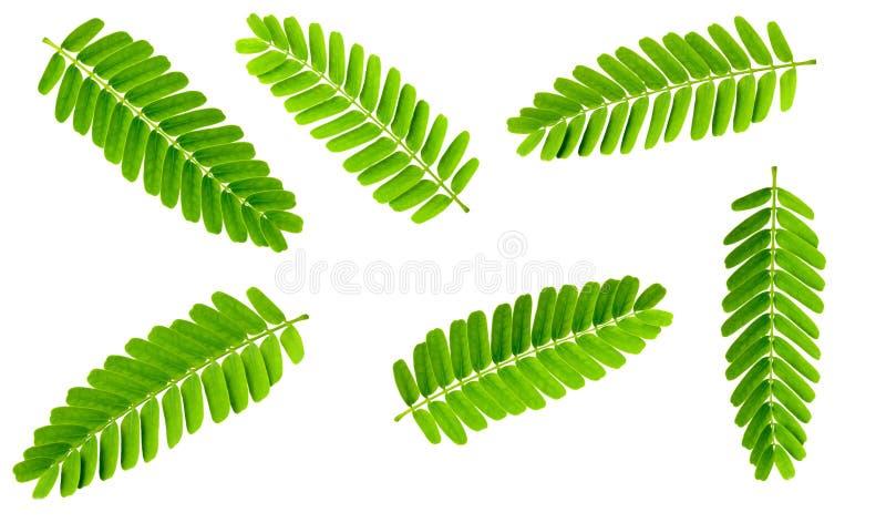 Kolekcja świezi tamarynda liście odizolowywający na białym tle, odgórny widok zdjęcia royalty free