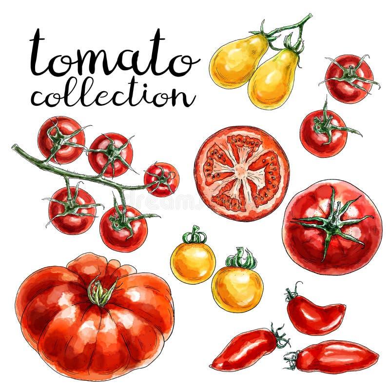 Kolekcja czerwoni i żółci pomidory royalty ilustracja
