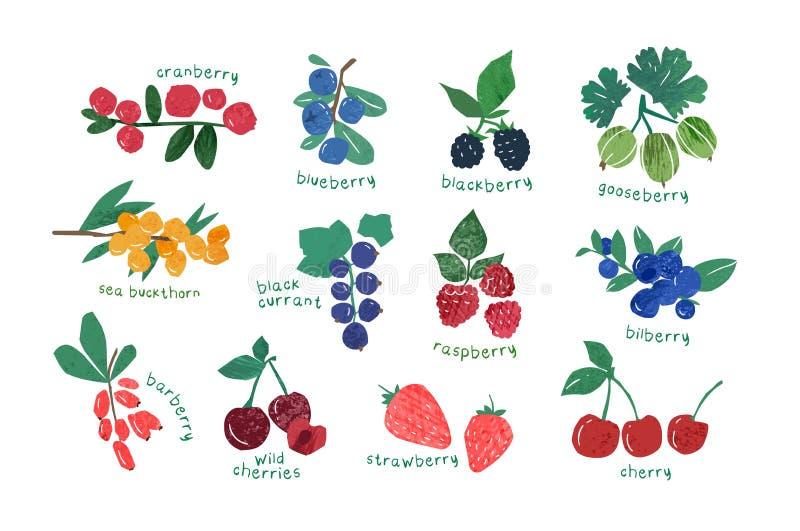 Kolekcja dojrza?e jagody odizolowywa? na bia?ym tle - cranberry, agrest, czernica, czarna jagoda, berberys pospolity Set ilustracji