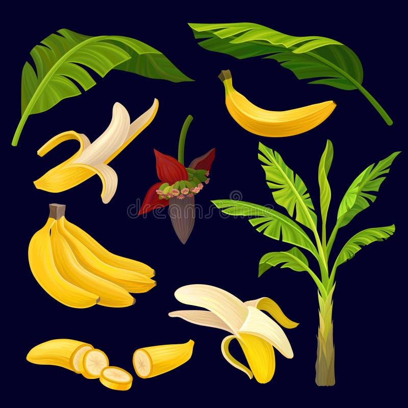 Kolekcja dojrzali żółci banany, zieleń liście i drzewko palmowe, tropikalnej owoc projekt Naturalni graficzni elementy szczegółow ilustracji