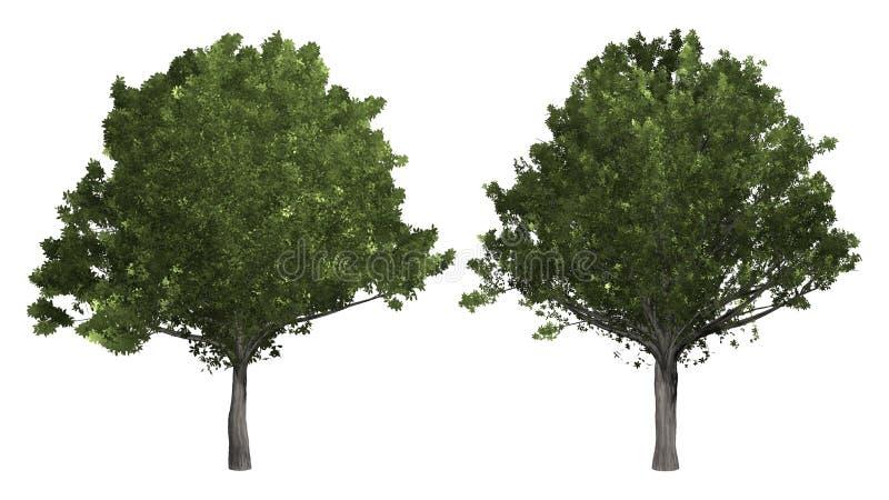 Kolekcja drzewo Dębowy drzewo odizolowywający na białym tle zdjęcia stock