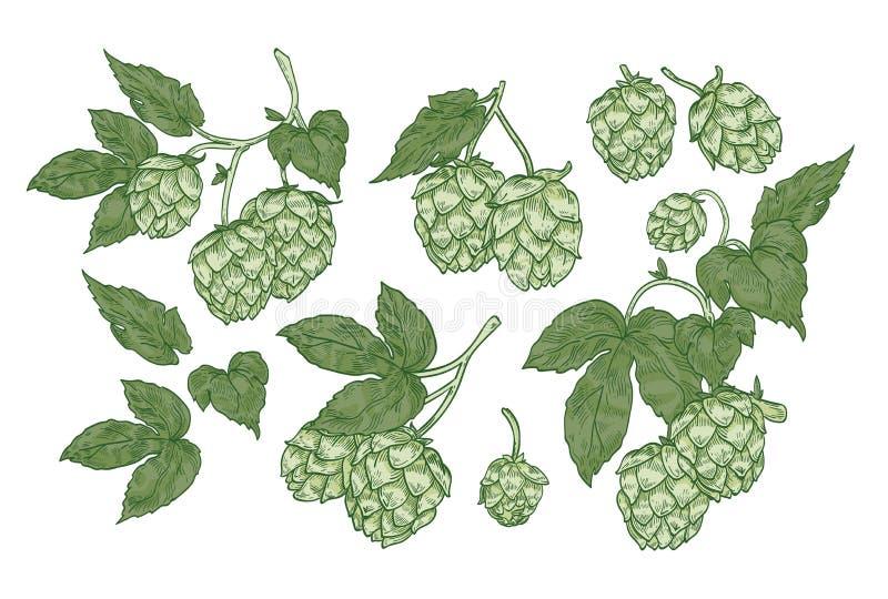Kolekcja eleganccy botaniczni rysunki chmiel rozdziela Set kwiaty i liście roślina kultywujący dla piwnego piwowarstwa royalty ilustracja