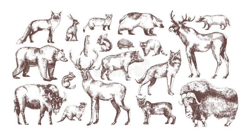Kolekcja eleganccy rysunki Europejscy lasowi zwierzęta odizolowywający na białym tle Plik trawożerny i ilustracji