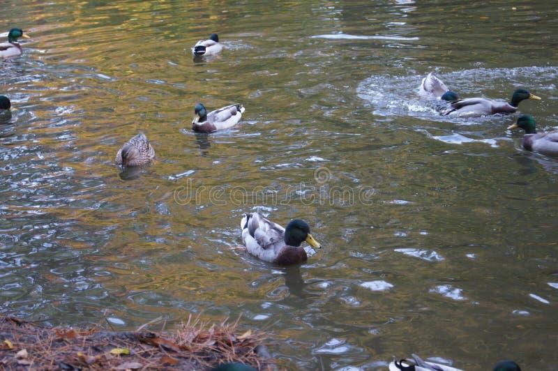 Kolekcja kaczki obrazy stock