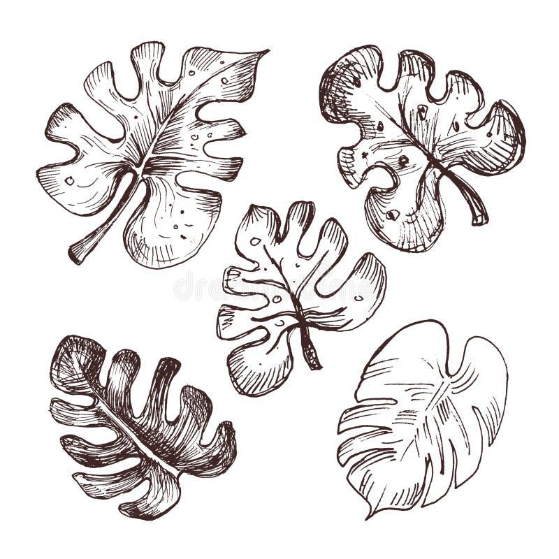 Kolekcja monstera liście Ręka rysująca ilustracja monstera liście ilustracja wektor