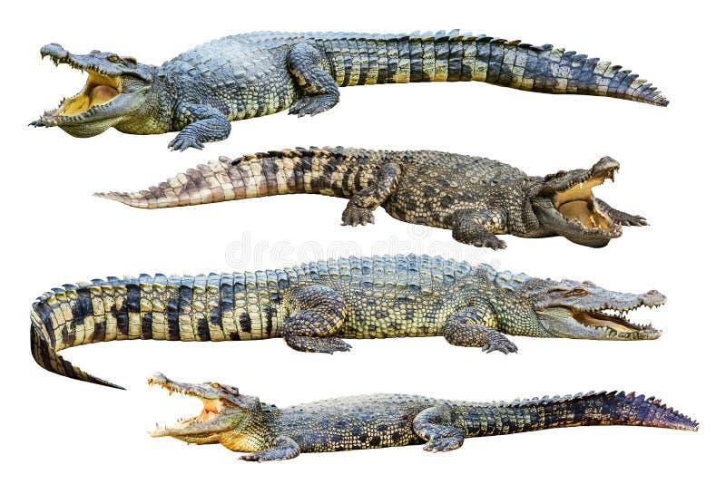 Kolekcja odizolowywająca na białym tle słodkowodny krokodyl fotografia royalty free