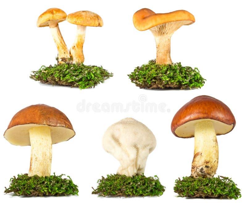 Kolekcja pieczarki w trawie odizolowywającej na bielu fotografia stock