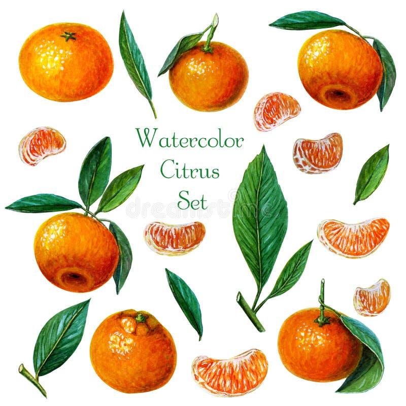 Kolekcja tangerines, mandarynki lub clementines z liśćmi i plasterkami Ręka malująca akwareli ilustracja ilustracja wektor