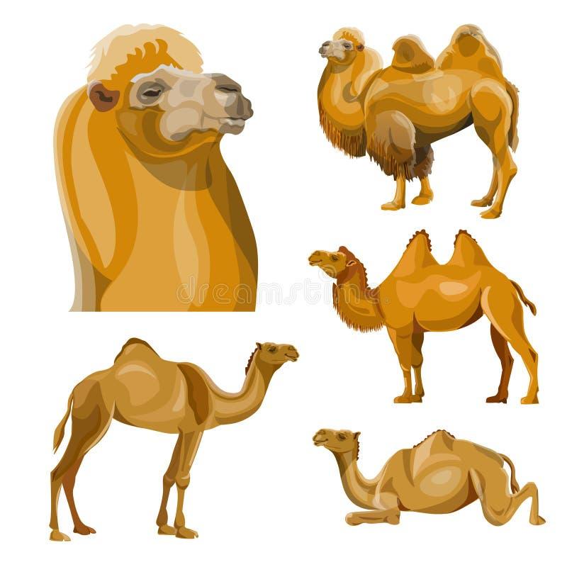 Kolekcja wektorowi wielbłądy ilustracja wektor