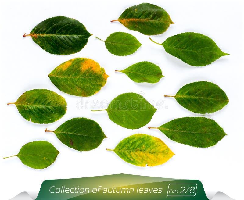 Kolekcja zieleń opuszcza zielone światło - żółci liście Set jesień liście na białym tle Rośliny na odosobnionym obraz royalty free