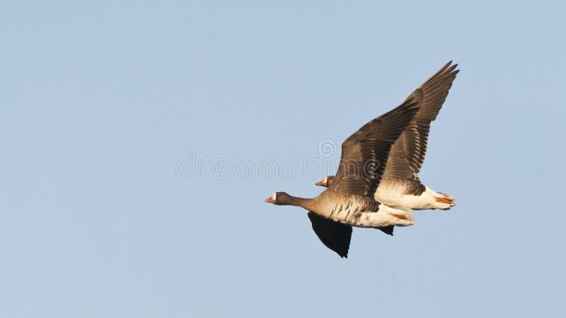 Kolgans, White-fronted Goose, Anser albifrons. Overwinterende groep Kolganzen; Wintering flock of White-fronted Geese (Anser albifrons) on Texel, Netherlands stock image