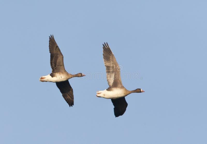 Kolgans, White-fronted Goose, Anser albifrons. Overwinterende groep Kolganzen; Wintering flock of White-fronted Geese (Anser albifrons) on Texel, Netherlands royalty free stock images