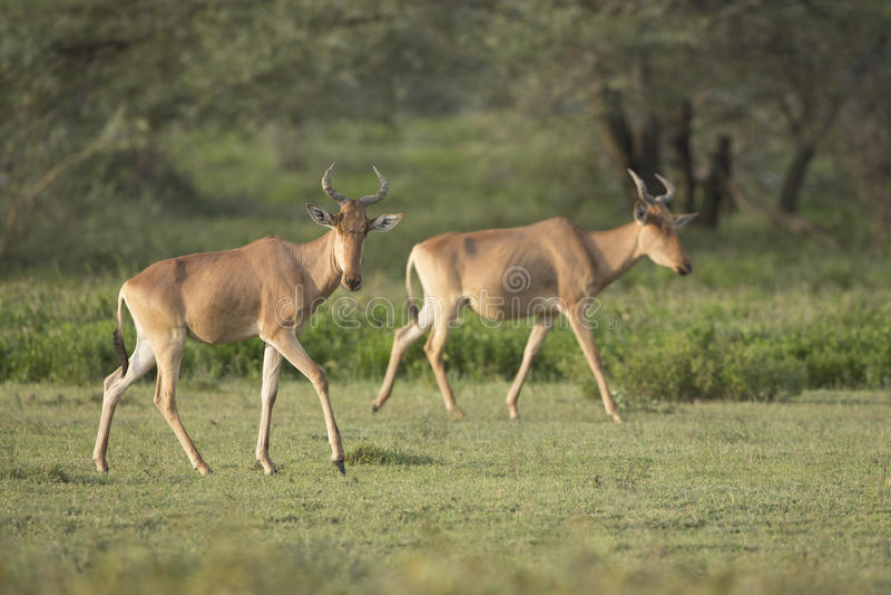 Koli Hartebeest w Tanzania (Alcelaphus buselaphus cokii) obrazy royalty free