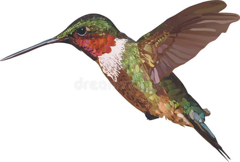 Kolibri över vit vektor illustrationer