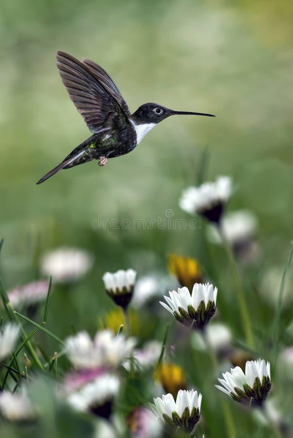 Kolibri über unscharfer Kamille im Hintergrund lizenzfreie stockbilder