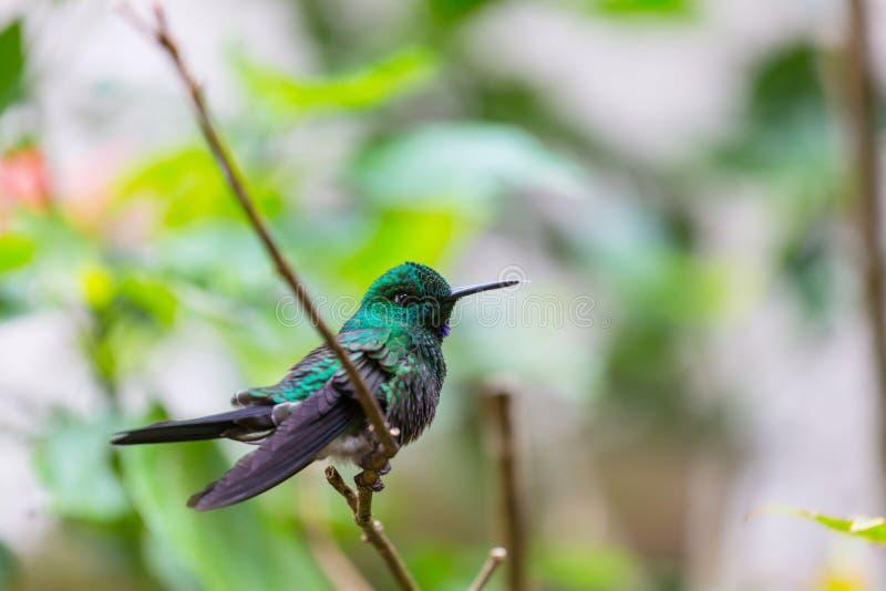 Kolibri fotos de stock