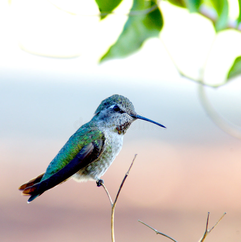Download Kolibri stockbild. Bild von vogel, summen, fauna, nave, frech - 30547