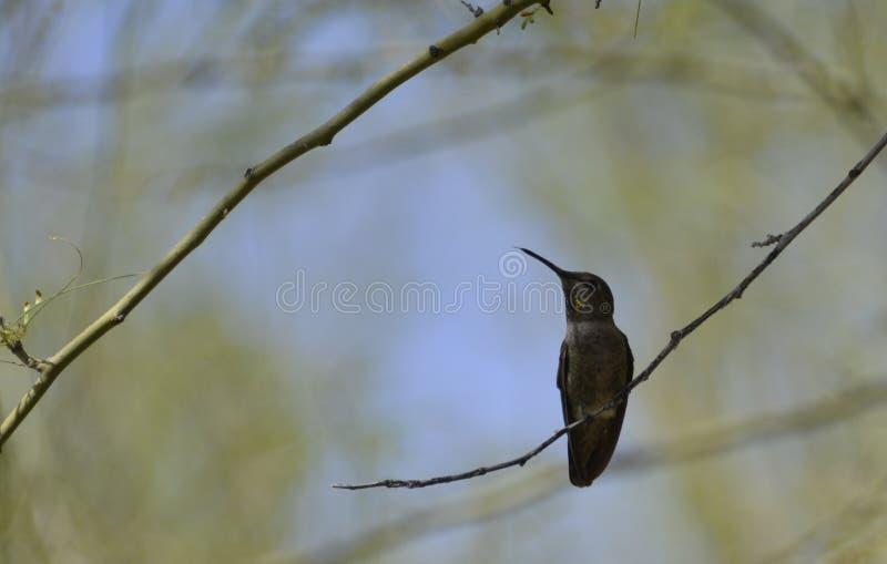 Kolibri royaltyfria foton