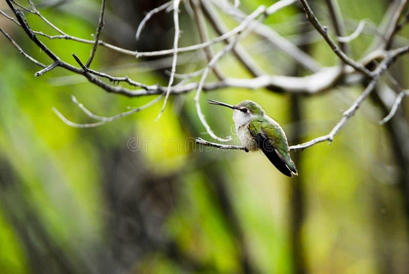Kolibri lizenzfreies stockbild